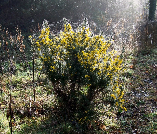 cobwebs on gorse bush